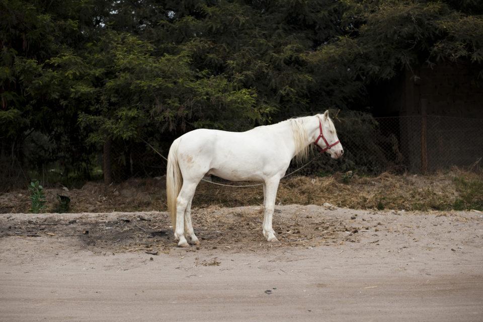 San Miguel de Azapa, cheval albinos